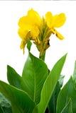 Canna jaune Image libre de droits