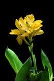 Canna jaune Photos stock