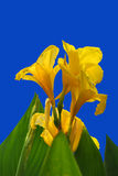 Canna King Midas Stock Photography