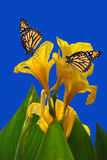 Canna King Midas with two Monarch butterflies. Canna King Midas with 2 Monarch butterflies Royalty Free Stock Photo