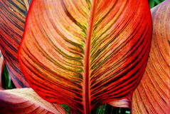 Canna Leaf Closeup Royalty Free Stock Images