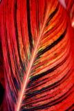 Canna Leaf Closeup Stock Image