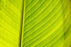 Canna leaves Royalty Free Stock Image