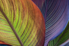 Canna leaves close-up Royalty Free Stock Images