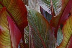 Canna leaves. Royalty Free Stock Photography