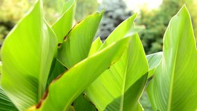 Canna leaves stock footage