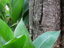CANNA LEAVES NEXT TO A TREE Royalty Free Stock Photography