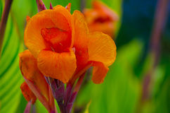 Canna-Lilienblume Stockbilder