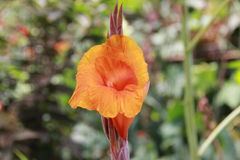 Canna Lilies Stock Images