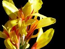 Canna lilja Royaltyfri Bild