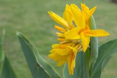 Canna lilja Royaltyfri Fotografi