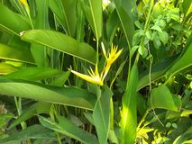 Canna lilly is beginning bloom. stock image