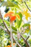 Canna lilly blomma royaltyfri foto