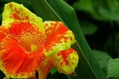Canna Lilly Flower Stock Photo