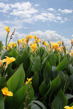 Canna lily Royalty Free Stock Image