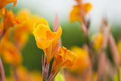 Canna lily. Perennial herbaceous plants of ratoon Stock Photos
