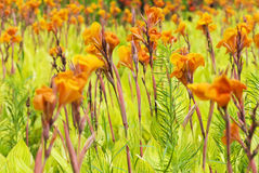 Canna lily. Perennial herbaceous plants of ratoon Stock Photography