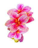 Canna Lily. Beautiful Canna Indica flowers clipping on white bac Royalty Free Stock Image