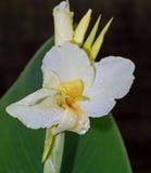 Canna lily Stock Photos