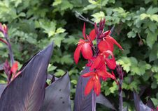 Canna Lily blooms and buds at the Dallas Arboretum stock photography