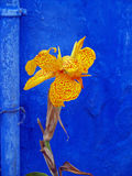 Canna Lily On Blue. Orange spotted Canna Lily against a bright Blue background stock photography
