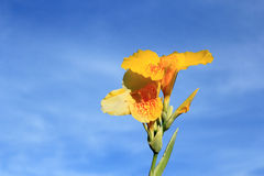 Canna Lily. On blue sky background Royalty Free Stock Photography