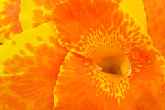 Canna Lily Close Up Stock Images