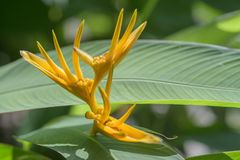 Canna flower close up royalty free stock photo