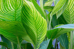 Canna lily leaves Royalty Free Stock Photography