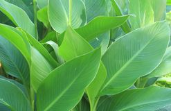 Canna lily leaves Royalty Free Stock Photo