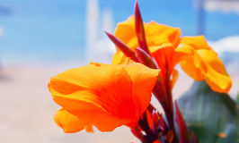 Canna Lily orange floral background stock images