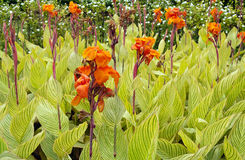 Canna Lily Royalty Free Stock Images