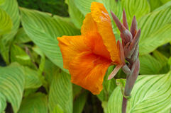 Canna Lily Stock Photo