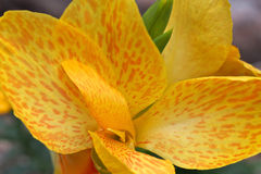 Canna Lily Yellow Royalty Free Stock Photos