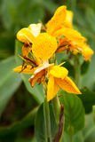 Canna Lily 'Yellow King Humbert' Royalty Free Stock Photo