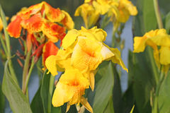 Canna lily Stock Images