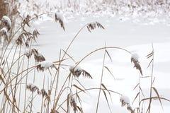 Canna nell'inverno Fotografia Stock