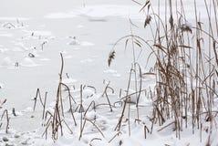 Canna nell'inverno Fotografie Stock Libere da Diritti