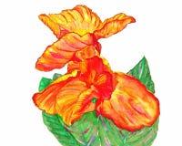 Canna o Canna Lily Plants Watercolor Painting Fotografía de archivo libre de regalías