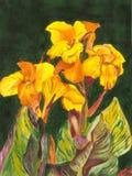 Canna pintado Lillies Imagens de Stock Royalty Free