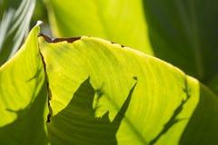 Canna plant. Stock Photo