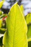 Canna plant. Stock Photos