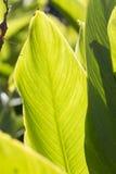 Canna plant. Stock Photography