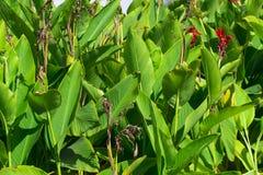 Canna plant. Royalty Free Stock Photography