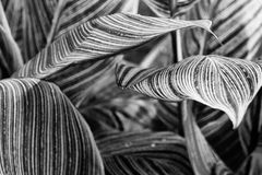 Canna pretoria large textured leaves closeup - abstract black an. D white macro Stock Images