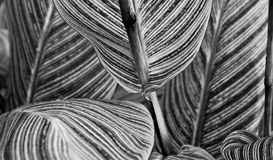 Canna pretoria large textured leaves closeup - abstract black an. D white macro Royalty Free Stock Photo