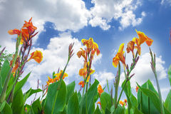 Canna flower and sky Royalty Free Stock Photo