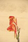 Canna spp  and hybrid flower Royalty Free Stock Images