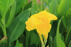 Canna spp and hybrid flower Stock Image