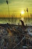 Canna su un tramonto Fotografia Stock Libera da Diritti